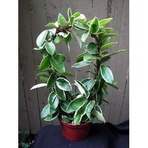Cream & Green Wax Plant  Hoya  15 Trellis   Easy! Patio