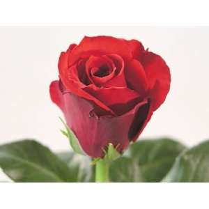 75 Beautiful Super Long Stem Roses RED  Grocery & Gourmet