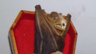 TAXIDERMY VAMPIRE BAT IN COFFIN/GOTHIC/WEIRD/STRANGE REAL BAT