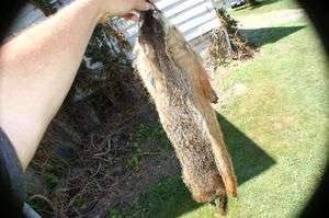 Wild ground hog pelt Woodchuck skin taxidermy mountable